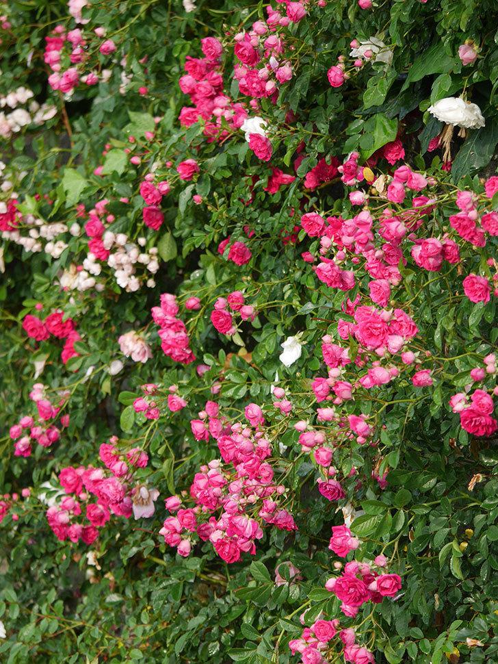 キングローズ(ツルバラ)の花がたくさん咲いた。2020年-1052.jpg