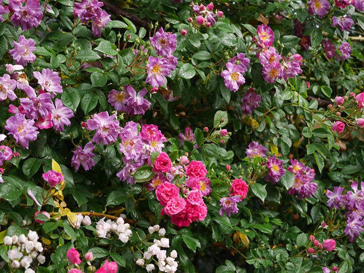 キングローズ(ツルバラ)の花がたくさん咲いた。2020年-1053.jpg