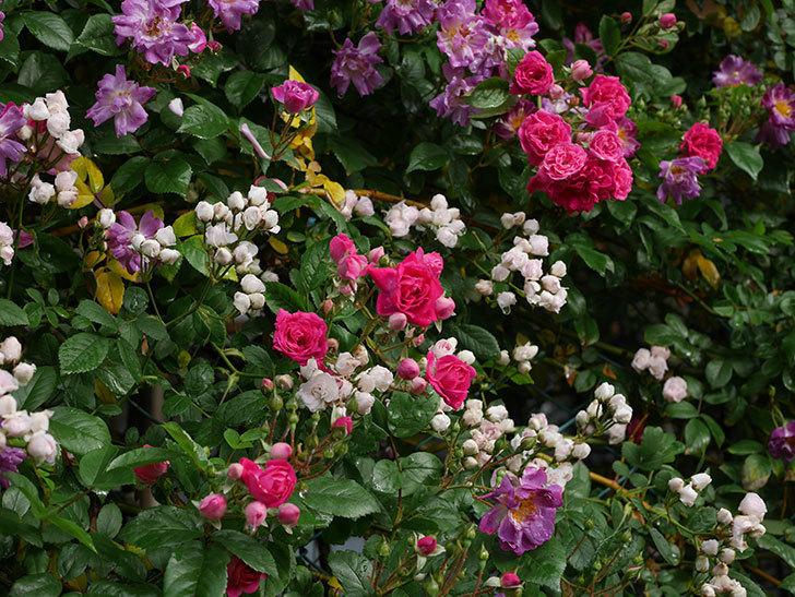 キングローズ(ツルバラ)の花がたくさん咲いた。2020年-1054.jpg