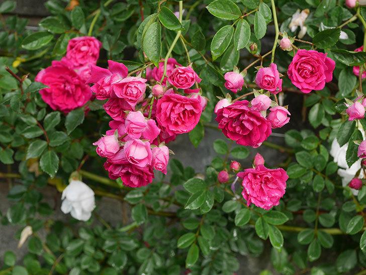 キングローズ(ツルバラ)の花がたくさん咲いた。2020年-1055.jpg