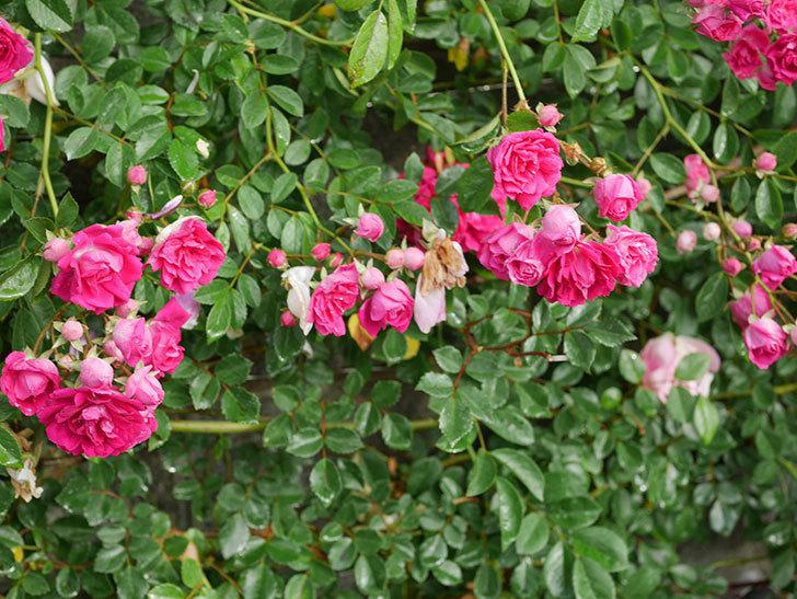キングローズ(ツルバラ)の花がたくさん咲いた。2020年-1056.jpg