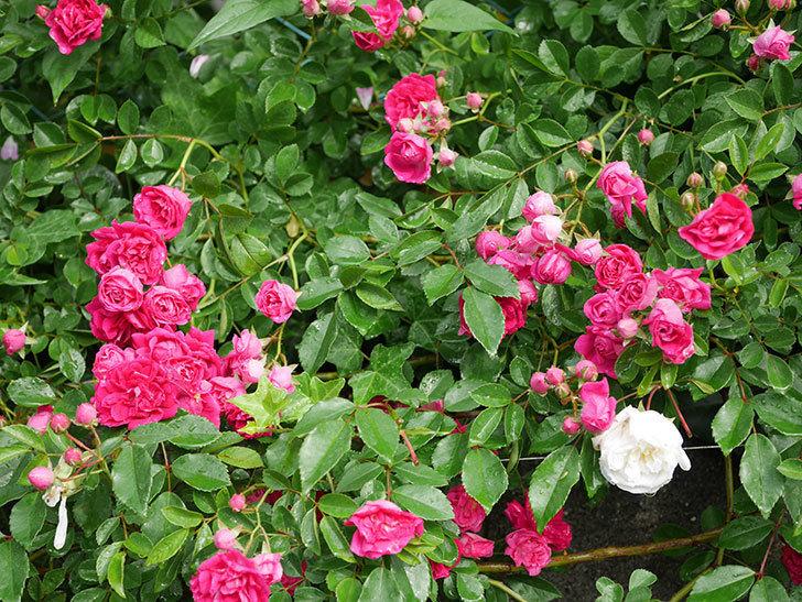 キングローズ(ツルバラ)の花がたくさん咲いた。2020年-1057.jpg