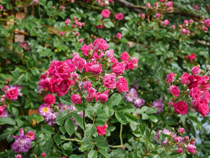 キングローズ(ツルバラ)の花がたくさん咲いた。2020年-1058.jpg