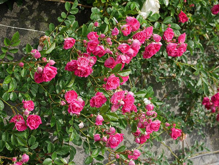 キングローズ(ツルバラ)の花がたくさん咲いた。2020年-1059.jpg