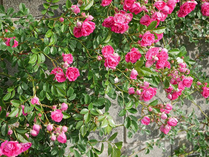 キングローズ(ツルバラ)の花がたくさん咲いた。2020年-1060.jpg