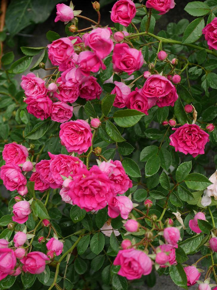 キングローズ(ツルバラ)の花がたくさん咲いた。2020年-1062.jpg