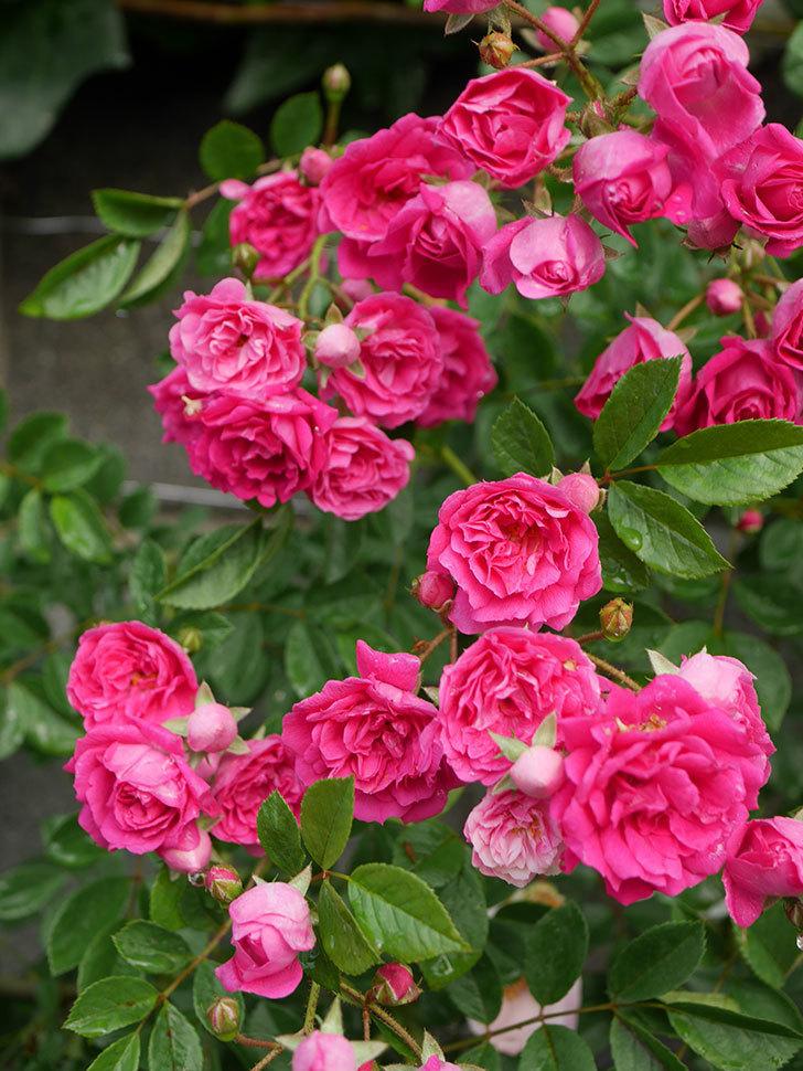 キングローズ(ツルバラ)の花がたくさん咲いた。2020年-1063.jpg