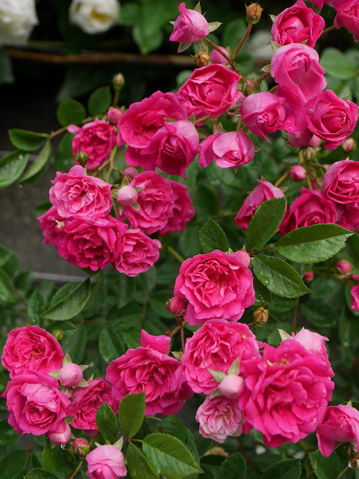 キングローズ(ツルバラ)の花がたくさん咲いた。2020年-1064.jpg
