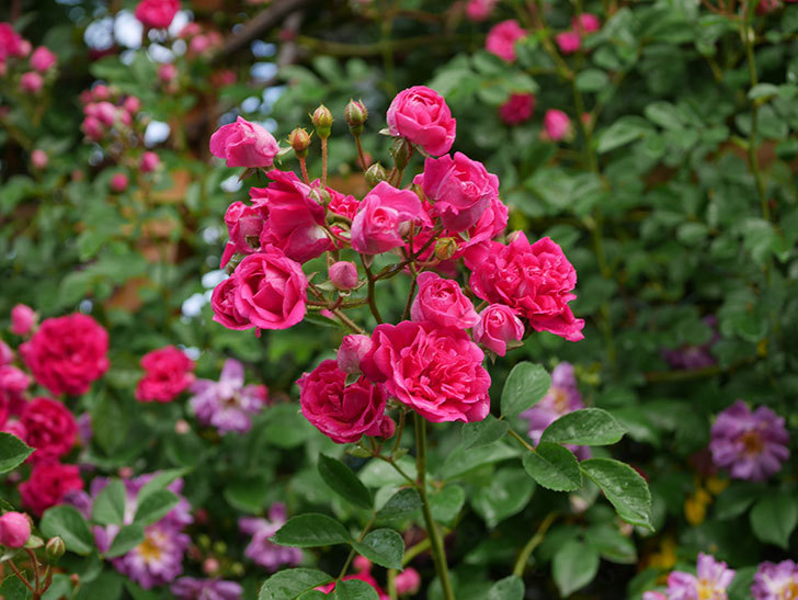 キングローズ(ツルバラ)の花がたくさん咲いた。2020年-1066.jpg