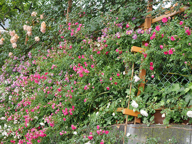 キングローズ(ツルバラ)の花がたくさん咲いた。2020年-1068.jpg