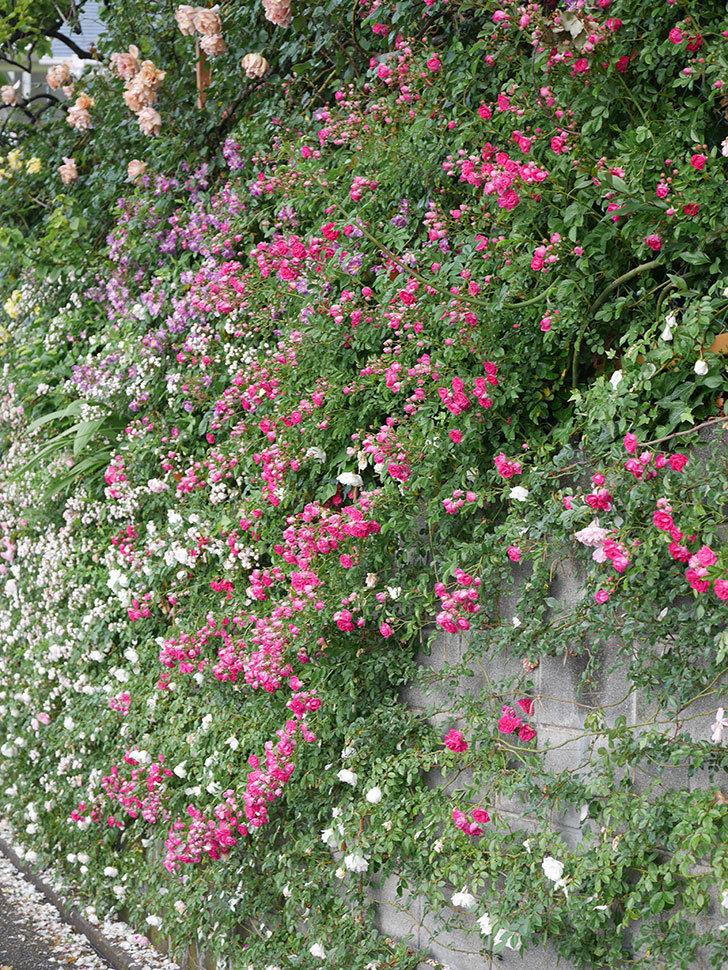 キングローズ(ツルバラ)の花がたくさん咲いた。2020年-1069.jpg