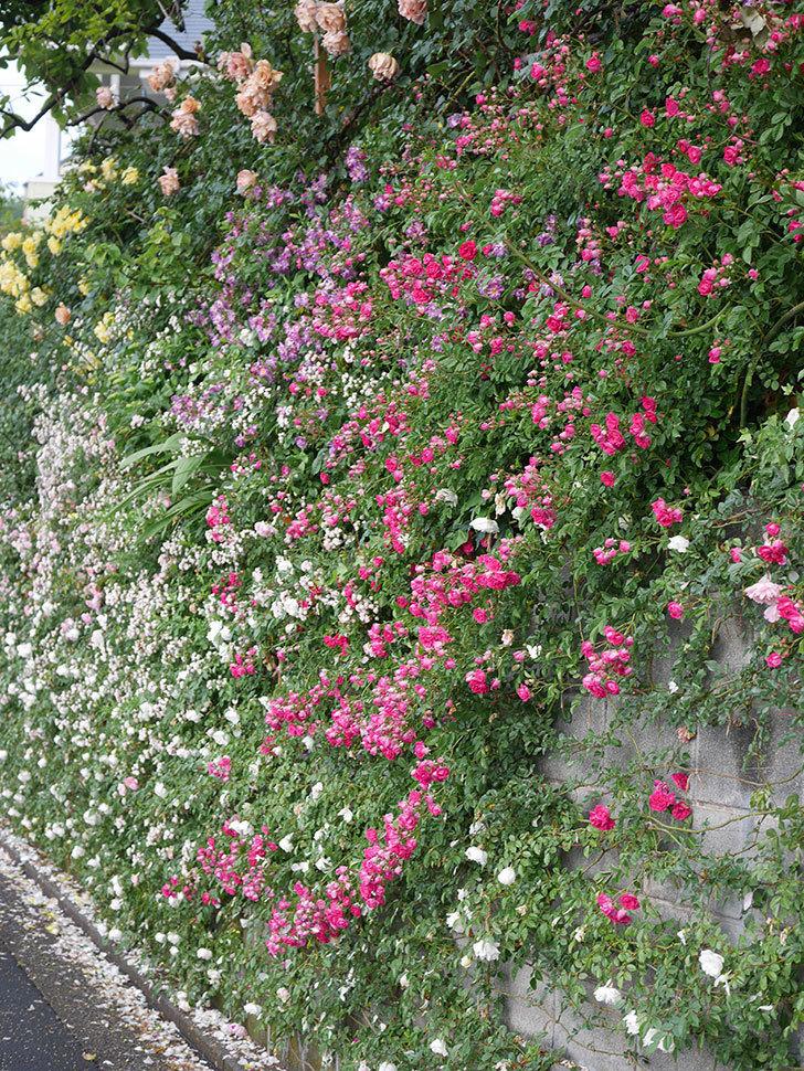 キングローズ(ツルバラ)の花がたくさん咲いた。2020年-1070.jpg