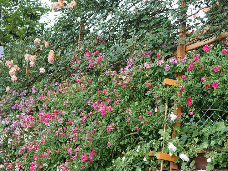 キングローズ(ツルバラ)の花がたくさん咲いた。2020年-1071.jpg