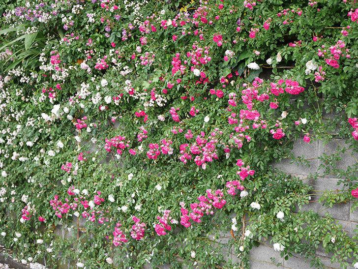 キングローズ(ツルバラ)の花がたくさん咲いた。2020年-1072.jpg