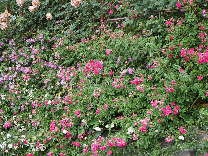 キングローズ(ツルバラ)の花がたくさん咲いた。2020年-1073.jpg