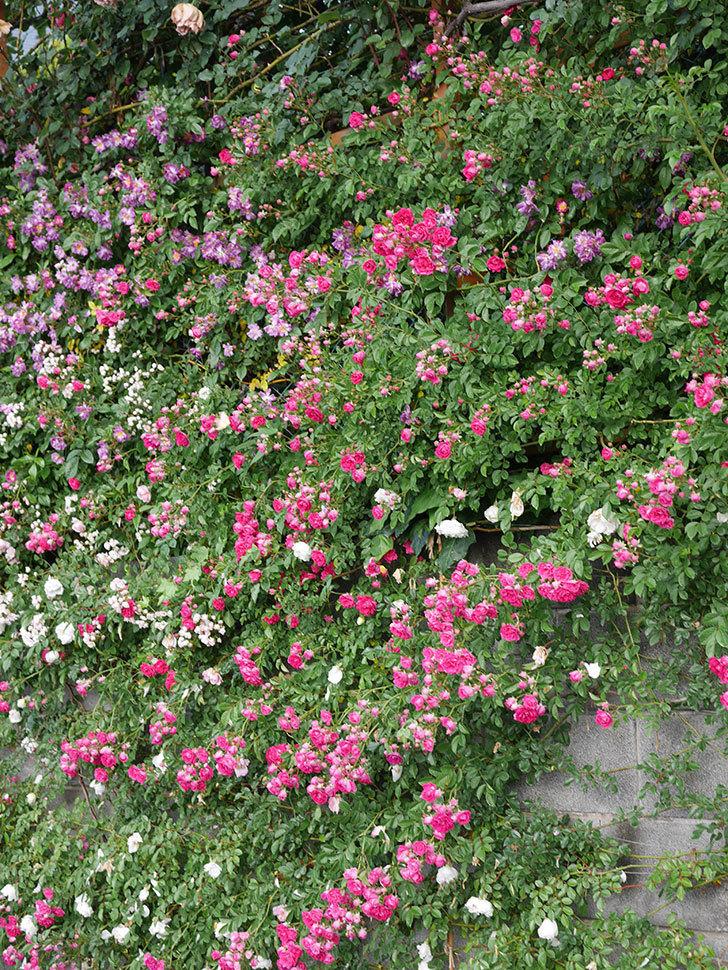 キングローズ(ツルバラ)の花がたくさん咲いた。2020年-1074.jpg