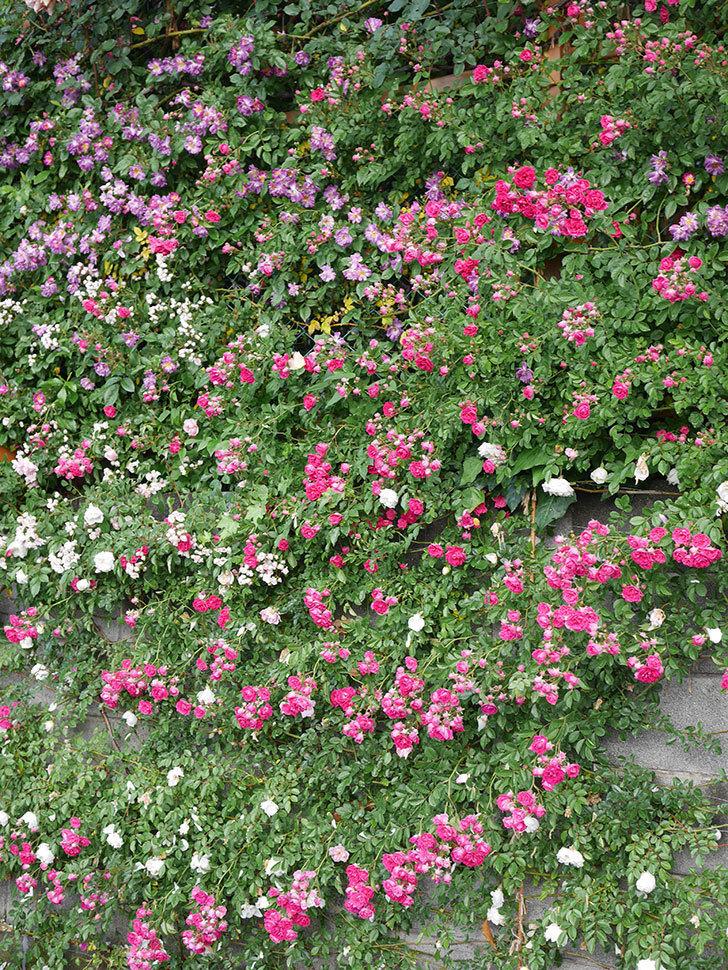キングローズ(ツルバラ)の花がたくさん咲いた。2020年-1075.jpg