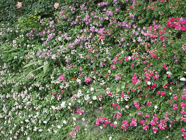 キングローズ(ツルバラ)の花がたくさん咲いた。2020年-1077.jpg