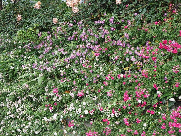 キングローズ(ツルバラ)の花がたくさん咲いた。2020年-1078.jpg