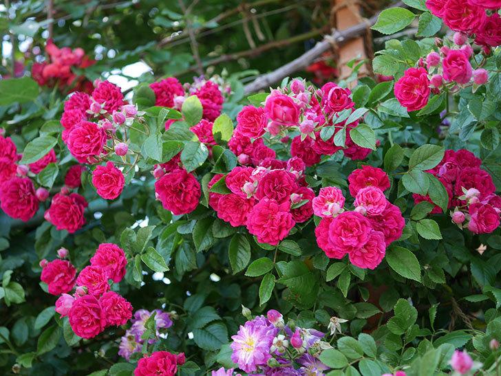 キングローズ(ツルバラ)の花が一斉に咲いた。2019年-10.jpg