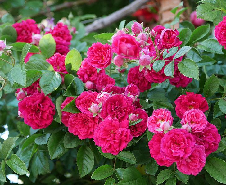キングローズ(ツルバラ)の花が一斉に咲いた。2019年-11.jpg
