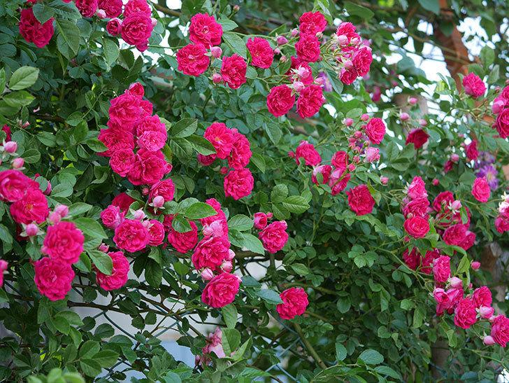キングローズ(ツルバラ)の花が一斉に咲いた。2019年-13.jpg