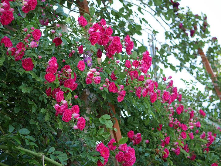 キングローズ(ツルバラ)の花が一斉に咲いた。2019年-14.jpg