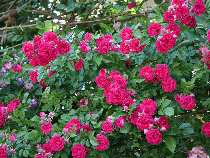 キングローズ(ツルバラ)の花が一斉に咲いた。2019年-15.jpg
