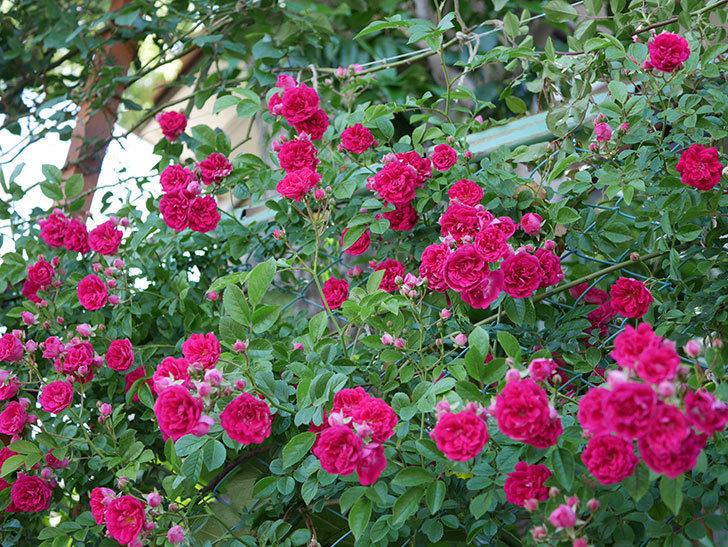 キングローズ(ツルバラ)の花が一斉に咲いた。2019年-16.jpg