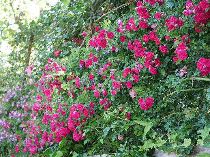 キングローズ(ツルバラ)の花が一斉に咲いた。2019年-17.jpg