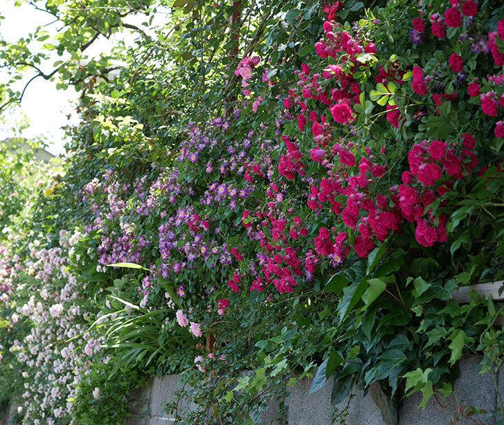 キングローズ(ツルバラ)の花が一斉に咲いた。2019年-18.jpg