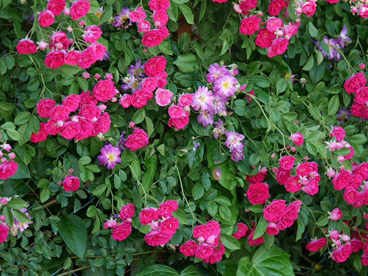キングローズ(ツルバラ)の花が一斉に咲いた。2019年-19.jpg
