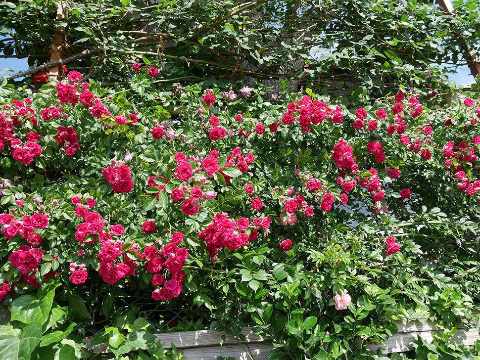 キングローズ(ツルバラ)の花が一斉に咲いた。2019年-2.jpg