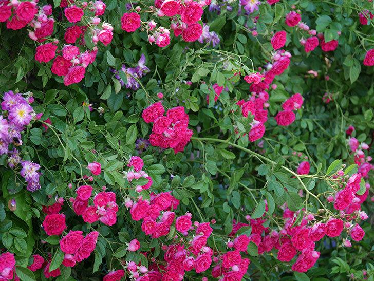 キングローズ(ツルバラ)の花が一斉に咲いた。2019年-20.jpg