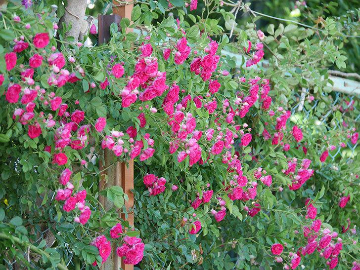 キングローズ(ツルバラ)の花が一斉に咲いた。2019年-21.jpg