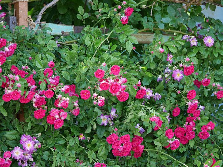 キングローズ(ツルバラ)の花が一斉に咲いた。2019年-22.jpg
