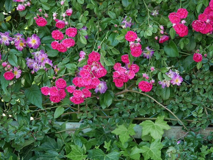 キングローズ(ツルバラ)の花が一斉に咲いた。2019年-23.jpg