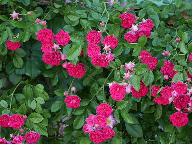 キングローズ(ツルバラ)の花が一斉に咲いた。2019年-24.jpg