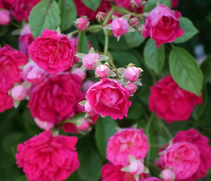 キングローズ(ツルバラ)の花が一斉に咲いた。2019年-26.jpg