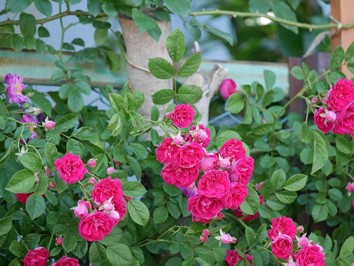 キングローズ(ツルバラ)の花が一斉に咲いた。2019年-27.jpg
