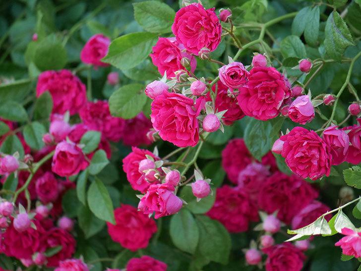 キングローズ(ツルバラ)の花が一斉に咲いた。2019年-28.jpg