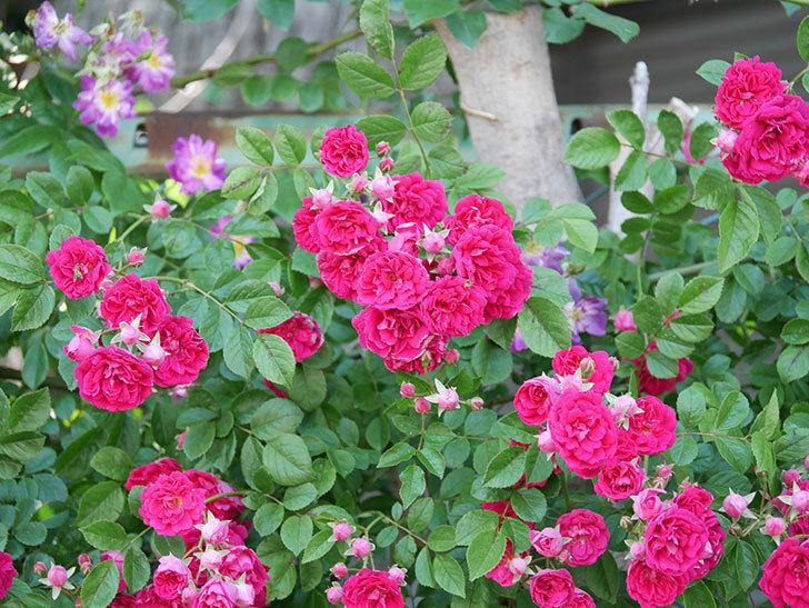 キングローズ(ツルバラ)の花が一斉に咲いた。2019年-29.jpg