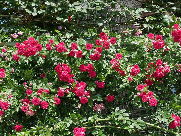 キングローズ(ツルバラ)の花が一斉に咲いた。2019年-3.jpg