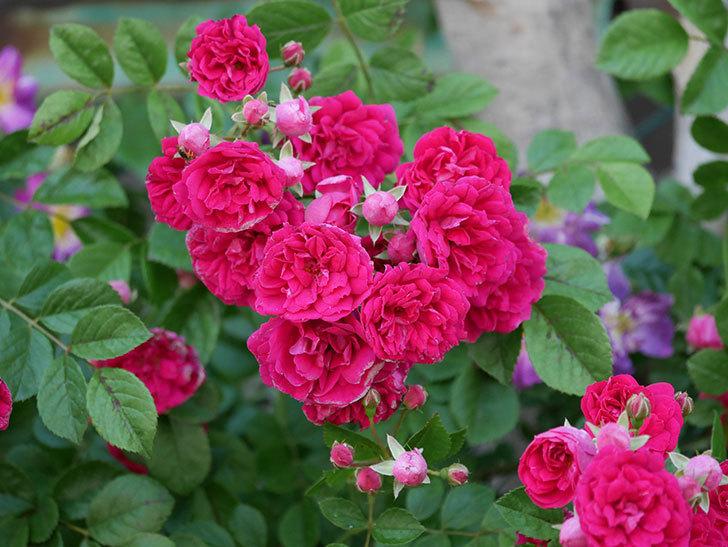 キングローズ(ツルバラ)の花が一斉に咲いた。2019年-30.jpg