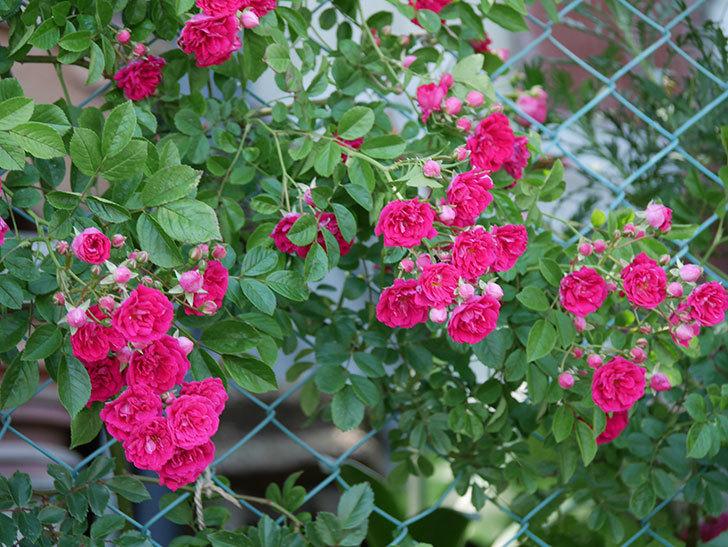 キングローズ(ツルバラ)の花が一斉に咲いた。2019年-31.jpg