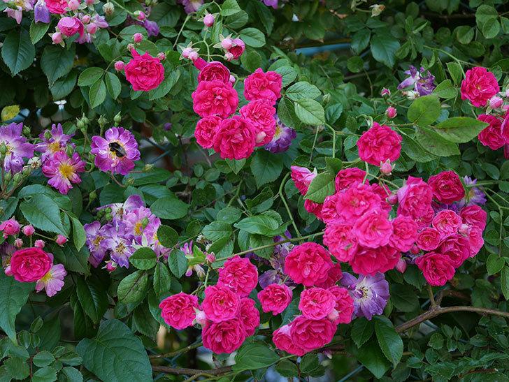 キングローズ(ツルバラ)の花が一斉に咲いた。2019年-4.jpg