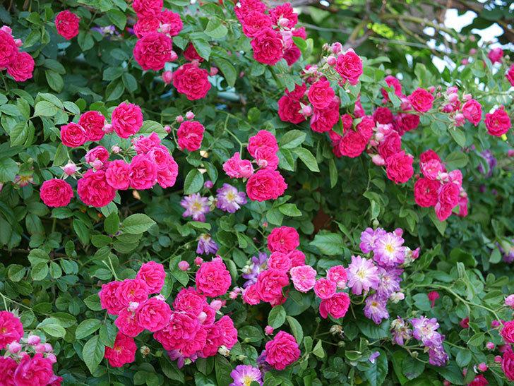 キングローズ(ツルバラ)の花が一斉に咲いた。2019年-5.jpg