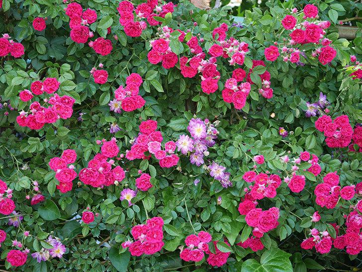 キングローズ(ツルバラ)の花が一斉に咲いた。2019年-7.jpg