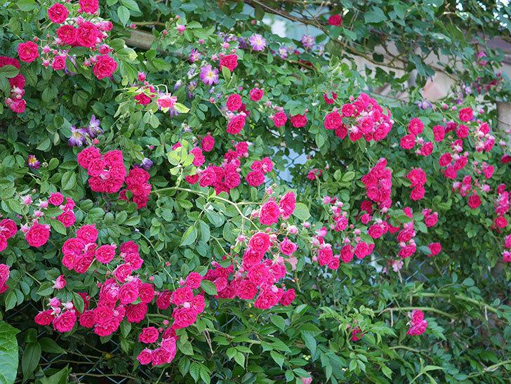キングローズ(ツルバラ)の花が一斉に咲いた。2019年-8.jpg