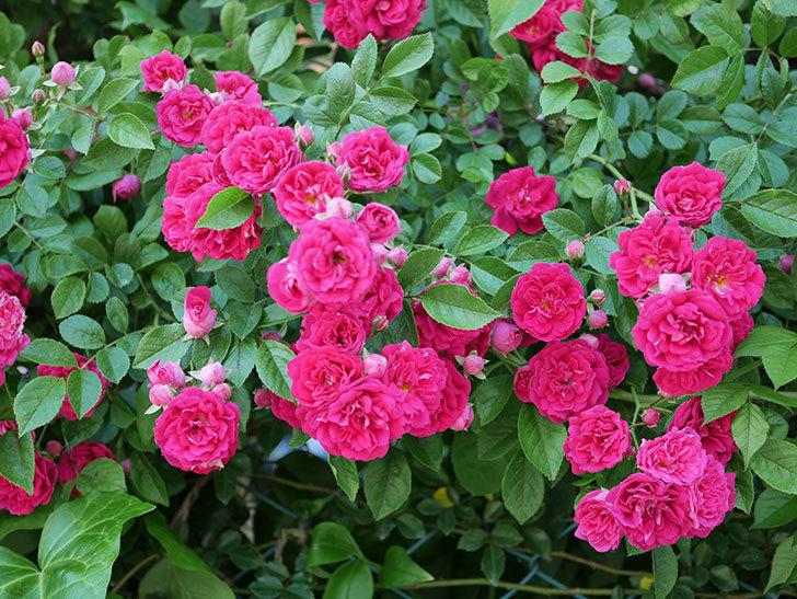 キングローズ(ツルバラ)の花が一斉に咲いた。2019年-9.jpg